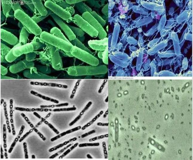 Bacillus thuringiensis 30