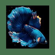 betta fish live wallpaper
