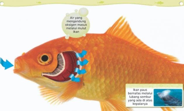 Bagaimana Cara Ikan Bernapas Guru Paud
