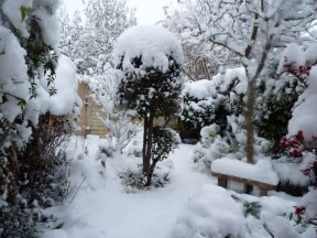 My Bay tree in the snow