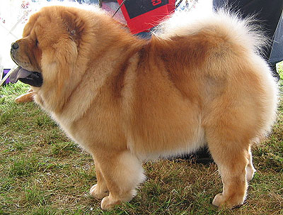 How breeders and judges destroyed the unique Chow-Chow (4/6)