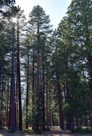 Pine trees on the lake shore