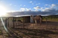 A camel, Springbok, SA