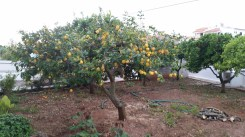 the formerly crazy lemon tree in the back yard