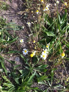 Tiny daises are everywhere here right now.