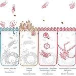 Andy Rader - Scientific Illustration - Salmnella SCV Maturation