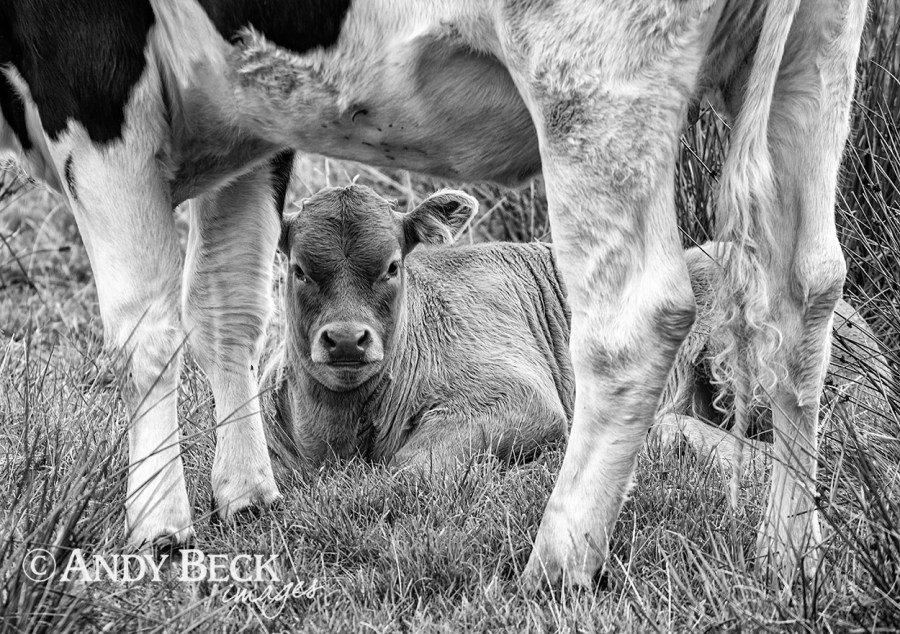 Stand by me, young calf