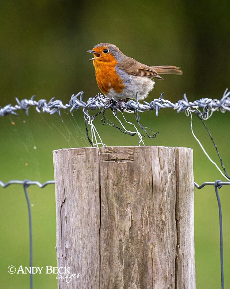 Robin on the wire