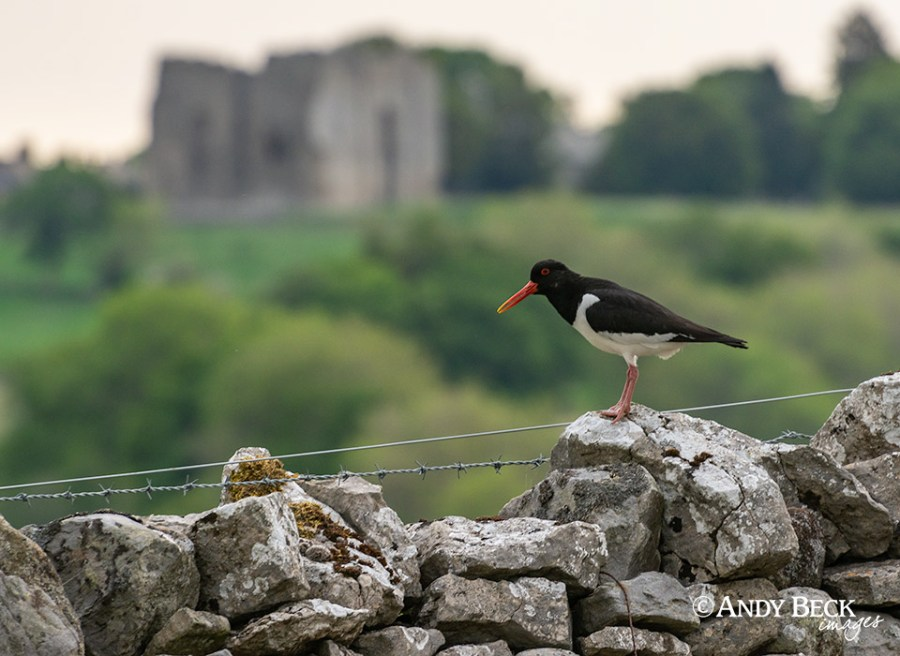 Oystercatcher at Bowes