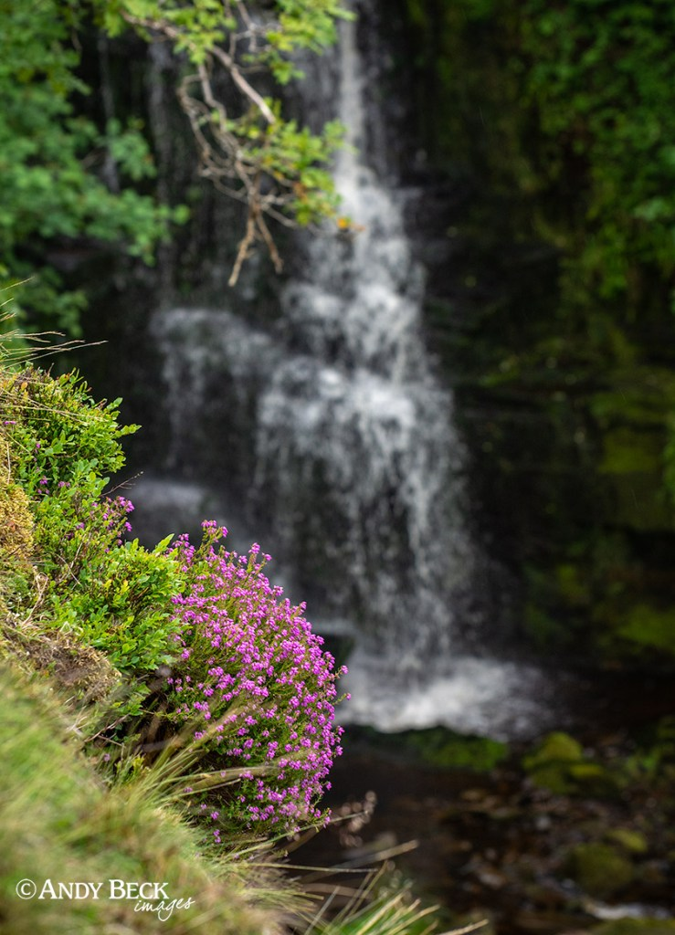 Flowering heather at Huggill Force