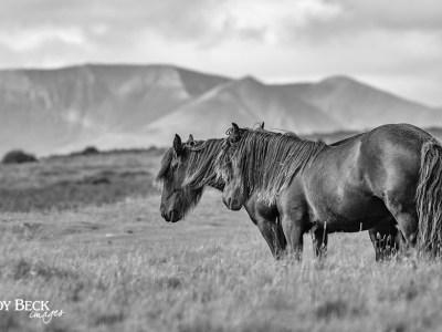 Ponies on Askham Fell