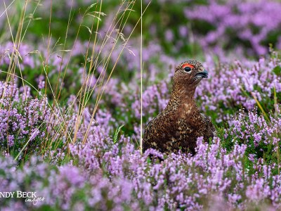 Grouse in the heather