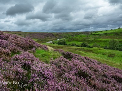 Heather and Sleightholme Beck