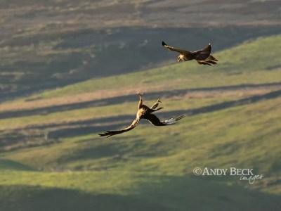 Buzzard aerobatics 1