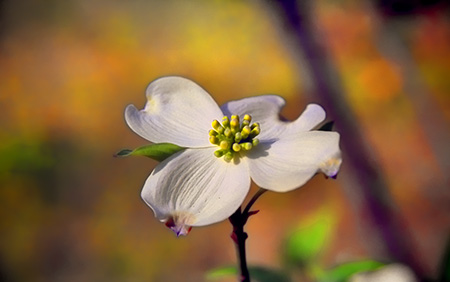 Dogwood Blossom - Shreveport - March Holidays on Frugal Guidance 2