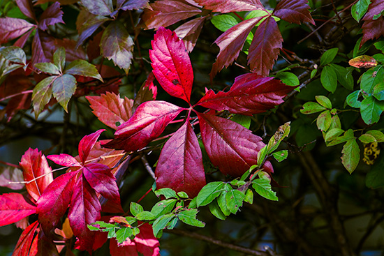 Red-Fall-Ivy-at-Morrs-Canal