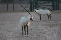 Visited Arabian Oryx Sanctuary in October