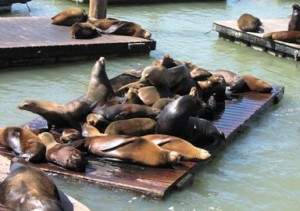 Sea Lions at Pier 39 San Francisco