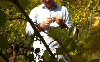 Harvesting Gemischten Satz Grapes in Vienna