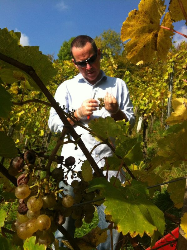 Photo of person picking grapes