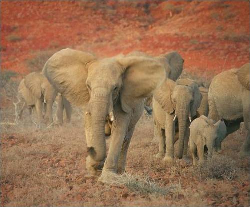 Namibia desert elephant - picture courtesy of Namibian Tourist Board