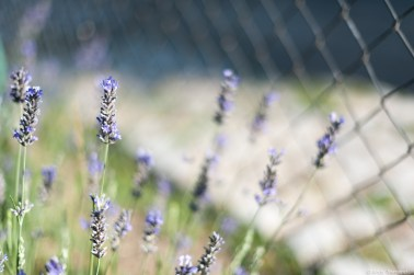 Lavender f/1.4 1/6400s ISO200