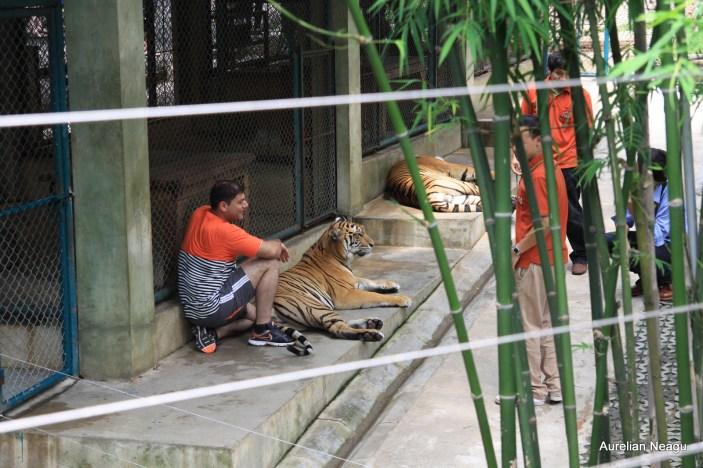 Tiger Kingdom, Chiang Mai 5