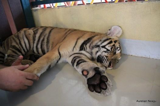 Tiger Kingdom, Chiang Mai 12