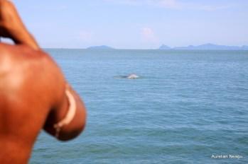 delfinii_Golful_Thailandei_3