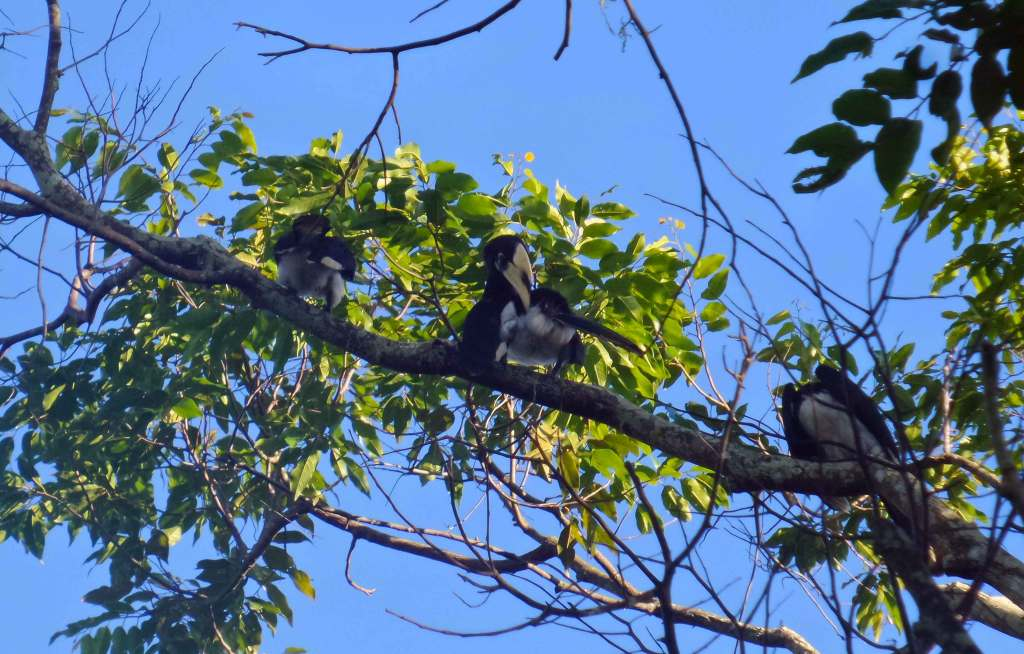 Langkawi - The Great Hornbill