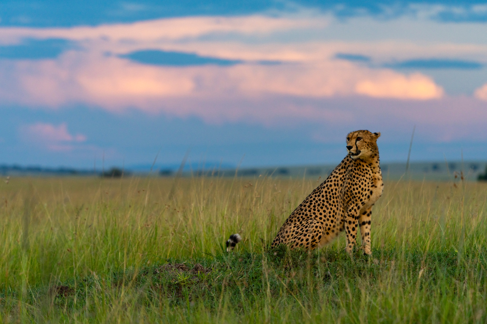 Image of Cheetah scanning the horizon