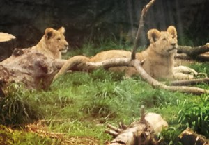 Baby animals at Woodland Park zoo: visiting the lions