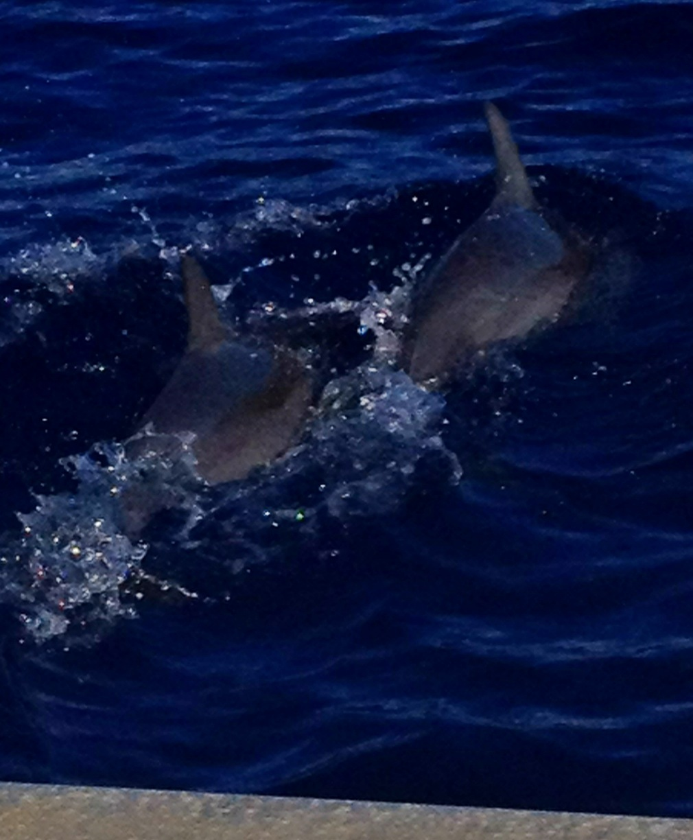 dolphins swimming with our snorkeling tour
