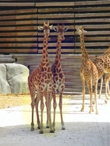 giraffes at paris zoo
