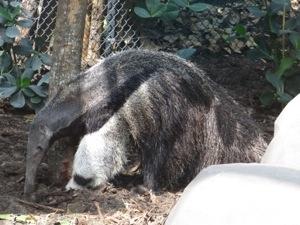 anteater at paris zoo