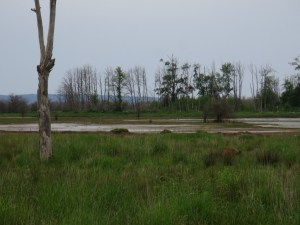 deer in the grass at Nisqually Refuge