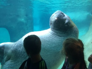 Walrus at Point Defiance Zoo