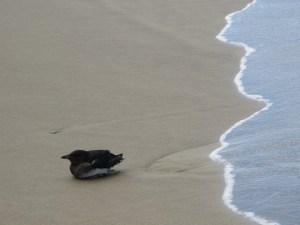 bird onshore at Hug Point