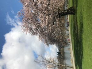 Cherry Blossoms in spring in Seattle at Green Lake