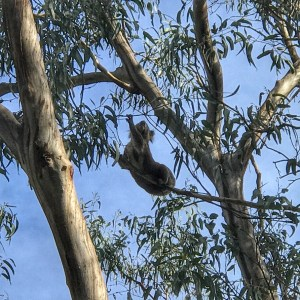 Koala in the Wild on the Great Ocean Road