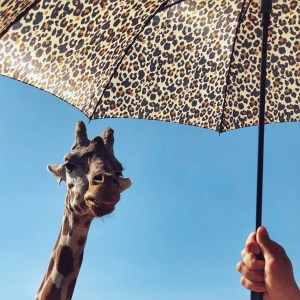 Up close with a giraffe at Safari West in California where we went glamping and had an awesome family-friendly Safari tour