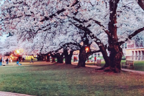 where to see cherry blossoms in Seattle and around the world in Spring