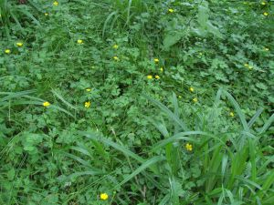 Flowers, Creeping Buttercup, June 2012