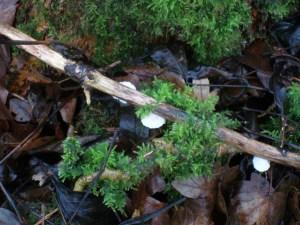 Fungi, unidentified, December 2012