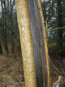 Trees, birch, December 2012
