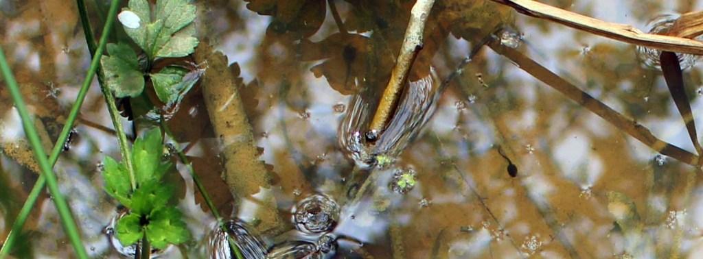 Amphibian, tadpole, April 2014