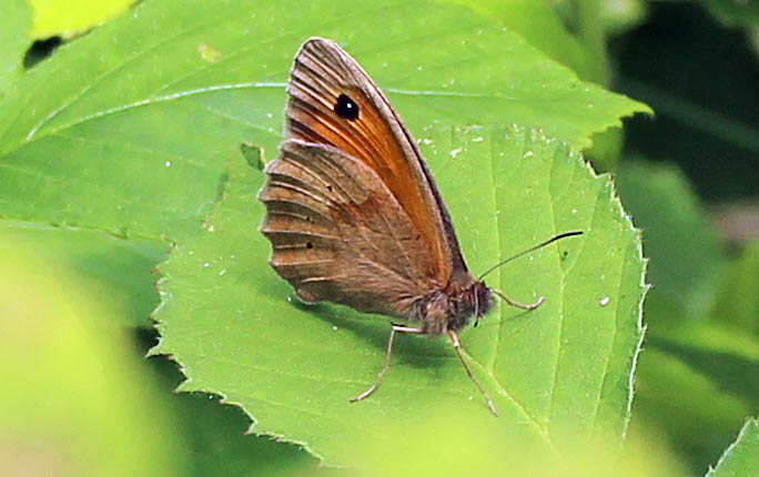 Butterfly, Meadow Brown, June 2014
