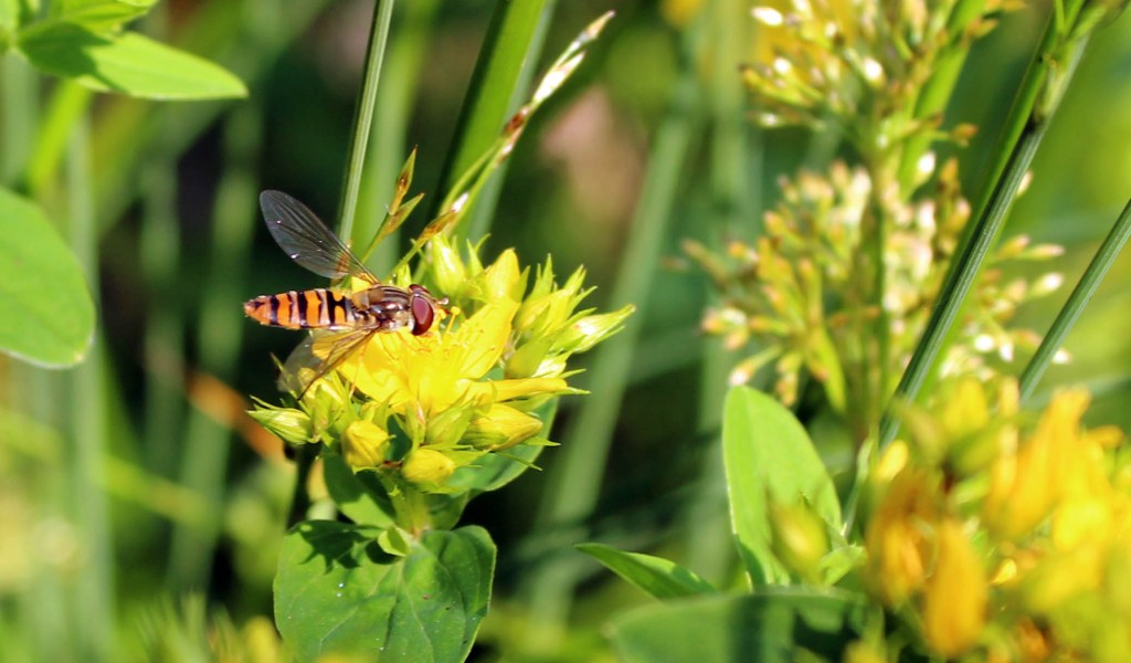 Flowers, insect, St John's Wort, Hover Fly, provisional identification,June 2014