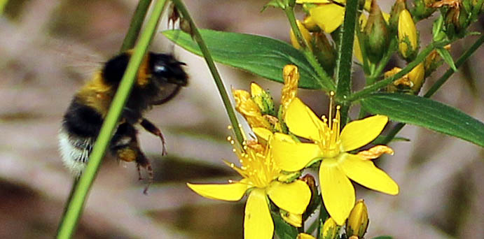 Bee, Buff-tailed Bumblebee, provisional identification, July 2014