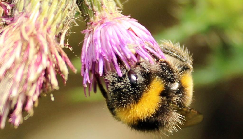 Bee, Bombus terrestris, provisional identification, July 2014